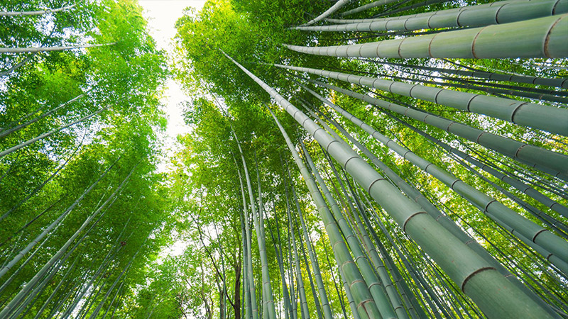 bamboo_forest2